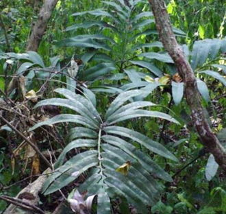 Stangeriaceae - Stangeria eriopus in coastal lowland forest,  South Africa