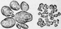 Starch Granules magnified.png