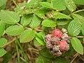 Starr-050815-3501-Rubus niveus-form a fruit-Pohakuokala Gulch-Maui (24775167856).jpg