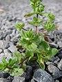Starr-090401-5505-Veronica arvensis-habit-Olinda-Maui (24320344364).jpg