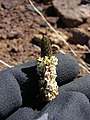 Starr-090504-7176-Plantago lanceolata-flowers-Science City-Maui (24658569540).jpg