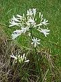 Starr-090520-8201-Agapanthus praecox subsp orientalis-white flowers-Keokea-Maui (24660504580).jpg