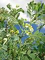 Starr-090601-8686-Senna gaudichaudii-flowers and leaves-Ulupalakua greenhouse-Maui (24934605656).jpg