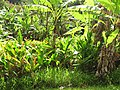 Starr-090617-0811-Heliconia psittacorum x spathocircinata-habit-Ulumalu Haiku-Maui (24334159174).jpg