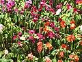 Starr-090714-2750-Impatiens walleriana-flowers mixed colors-Kapalua-Maui (24674176610).jpg