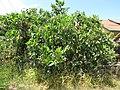 Starr-090721-3269-Fagraea berteroana-habit-Wailuku-Maui (24339904014).jpg