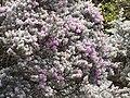Starr-090806-3883-Leucophyllum frutescens-flowers and leaves-Wailuku-Maui (24340932104).jpg