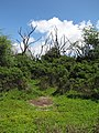 Starr-090814-4376-Cyperus laevigatus-habit-Kealia Pond-Maui (24676841450).jpg
