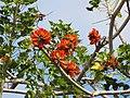 Starr-100114-1254-Erythrina sp-flowers-Enchanting Floral Gardens of Kula-Maui (24376224984).jpg