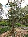 Starr-110307-2495-Banksia prionotes-habit-Kula Botanical Garden-Maui (24710525469).jpg