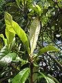 Starr-110330-3874-Eriobotrya japonica-leaves-Garden of Eden Keanae-Maui (24713203109).jpg