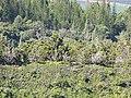 Starr-111012-0825-Juniperus bermudiana-habit-Kahana-Maui (25025544361).jpg