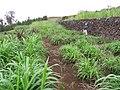 Starr-120620-7462-Cenchrus purpureus-green bana grass biofuel trials with Kim-Kula Agriculture Station-Maui (24518879973).jpg