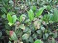 Starr-120620-7485-Camellia sinensis-leaves-Kula Agriculture Station-Maui (24778070489).jpg