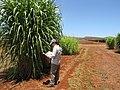 Starr-120702-7887-Cenchrus purpureus x glaucum-Hoolehua PMC hybrid Pearl Millet x banagrass var banagrass with Kim-USDA Plant Materials Center-Molokai (25186210835).jpg