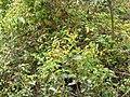 Starr-130605-4700-Asparagus asparagoides-fruiting habit-Kula-Maui (25118326731).jpg