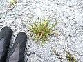 Starr-150402-0693-Poa annua-habit on abandoned runway-Northeast Eastern Island-Midway Atoll (25155504812).jpg