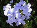 Starr 030702-0015 Plumbago auriculata.jpg