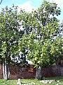 Starr 031209-0043 Artocarpus altilis.jpg