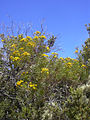 Starr 040723-0026 Bidens menziesii subsp. filiformis.jpg