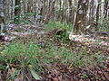 Starr 050115-3092 Setaria parviflora.jpg