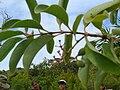 Starr 051105-5183 Santalum freycinetianum var. lanaiense.jpg