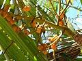Starr 060922-9131 Chrysalidocarpus lutescens.jpg