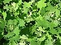 Starr 061108-9628 Chenopodium oahuense.jpg