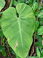 Starr 070306-5129 Philodendron sp..jpg