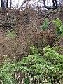 Starr 070908-9123 Rubus hawaiensis.jpg