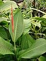 Starr 080117-1716 Heliconia psittacorum.jpg