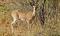 Steenbok (Raphicerus campestris) (6447488305).jpg