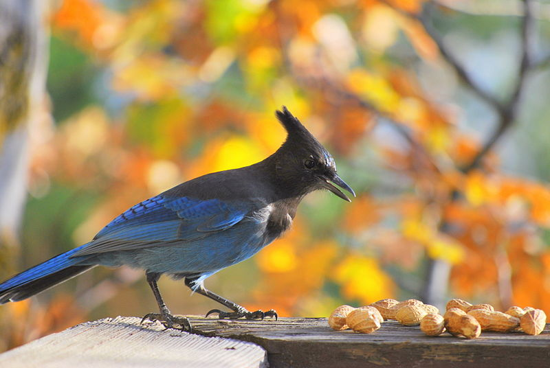 File:Steller's Jay perched on wood rail in front of peanuts.jpg