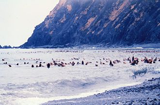 Middleton Island - A raft of Steller sea lions off the coast of Middleton Island, 1978