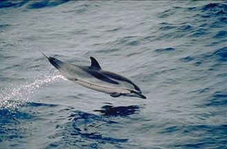 Striped dolphin - A striped dolphin in full flight