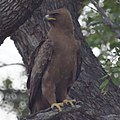 Steppe Eagle (6608153599).jpg