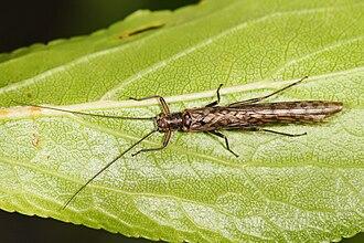Plecoptera - Dinotoperla imago (adult) (Gripopterygidae: Dinotoperlinae)