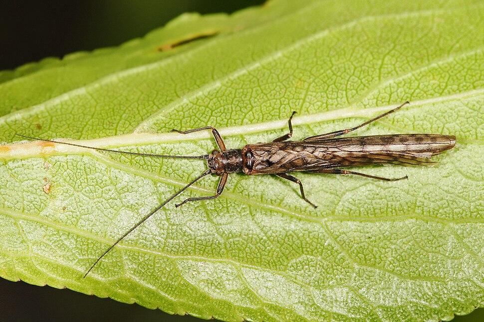 Stonefly - dinotoperla