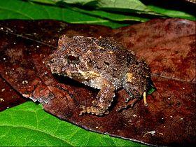 Strabomantis biporcatus.jpg