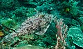 Strap-weed Filefish (Pseudomonacanthus macrurus) (8469013880).jpg