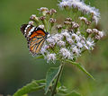 Striped Tiger (Danaus genutia) on Eupatorium odoratum at Jayanti, Duars, West Bengal W Picture 335.jpg