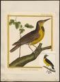 Sturnella ludoviciana - 1700-1880 - Print - Iconographia Zoologica - Special Collections University of Amsterdam - UBA01 IZ15800275.tif