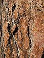 Sugar Pine Bark.jpg