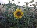 Sunflower Dortmund 6.jpg