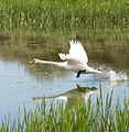 Swan take off - Flickr - S. Rae.jpg