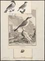 Sylvia orpheus - 1700-1880 - Print - Iconographia Zoologica - Special Collections University of Amsterdam - UBA01 IZ16200169.tif