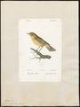 Sylvia rufa - 1842-1848 - Print - Iconographia Zoologica - Special Collections University of Amsterdam - UBA01 IZ16200191.tif