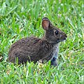 Sylvilagus palustris in Sanibel Island 02.jpg