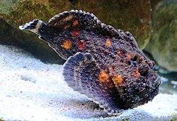 Synanceia verrucosa Prague 2011 2.jpg