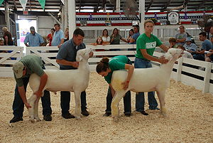 Sheep - Sheep being judged for adherence to their breed standard, and being held by the most common method of restraint